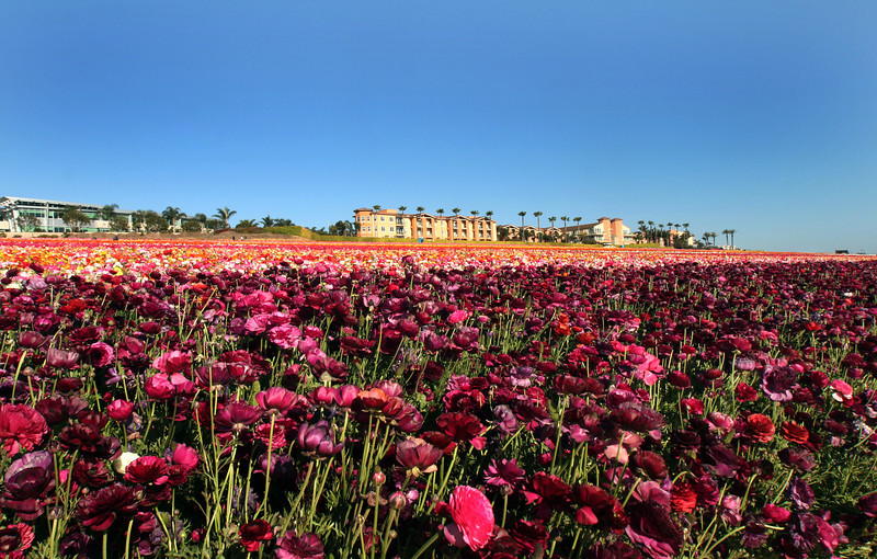 Carlsbad Flower Fields, Grand Pacific Palisades Resort