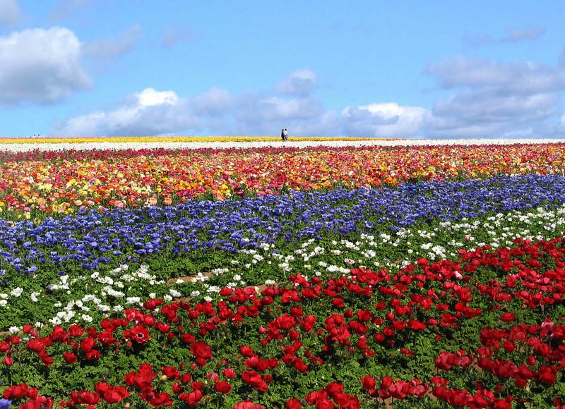 Carlsbad Flower Fields, Couple on Horizon