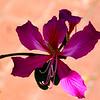Tulip tree bloom