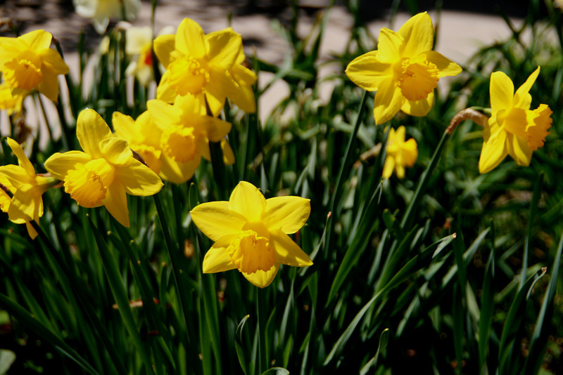 Julian California Spring Daffodils
