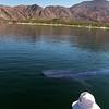 Bahia de Los Angeles, Whale Shark Gliding through Bay