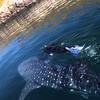 Bahia de Los Angeles, Swimming with Whale Sharks