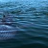 Baja AirVentures, Bahia de los Angeles, Three Snorkelers Swimming with Whale Shark