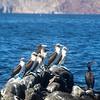 Midriff Islands, Gulf of California, Blue Footed Boobies on Rock