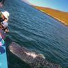Bahia de los Angeles, Whale Shark Poses for Photographers