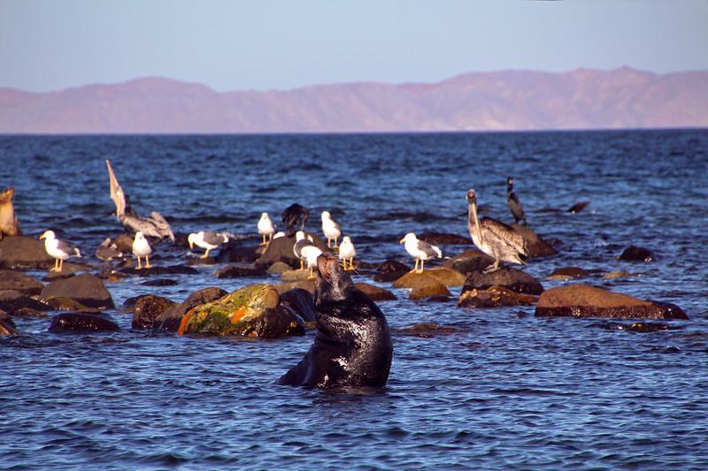 Midriff Islands, Gulf of California, Sea Lion Bull with Pelicans