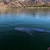 Bahia de Los Angeles, Photographing  a Whale Shark
