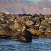 Midriff Islands, Gulf of California, Sea Lion Bull