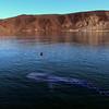 Bahia de Los Angeles, Whale Shark with Snorkeler in Bay