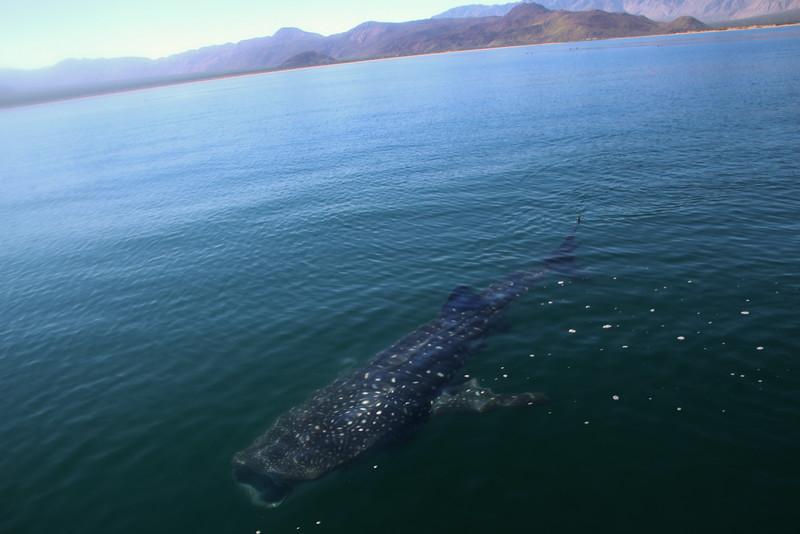 Bahia de Los Angeles, Whale Shark Feeding with Open Mouth