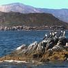 Midriff Islands, Gulf of California, Blue Footed Boobies on Rock, Mountain Backdrop