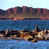 Midriff Islands, Gulf of California, Yawning Sea Lion