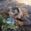 Galapagos Islands; Iguana; South Plaza Island
