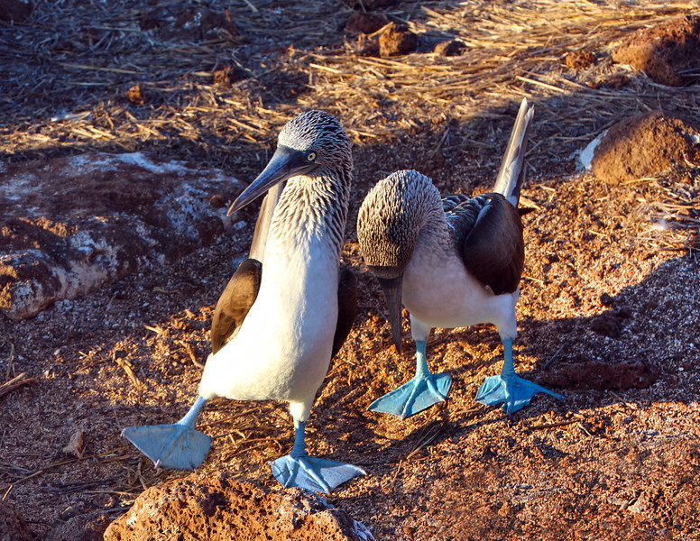 Galapagos Islands, Blue-Footed Booby Dance, North Seymour Island