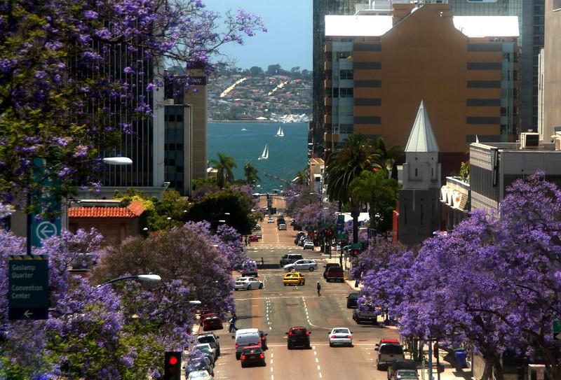 San Diego Downtown, Jacaranda Trees in bloom
