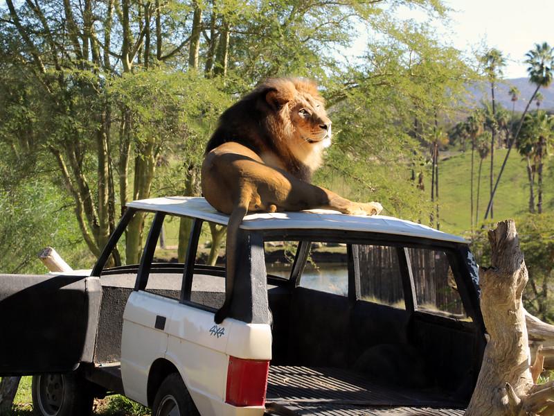 San Diego Zoo Safari Park,  View of Lion on Jeep