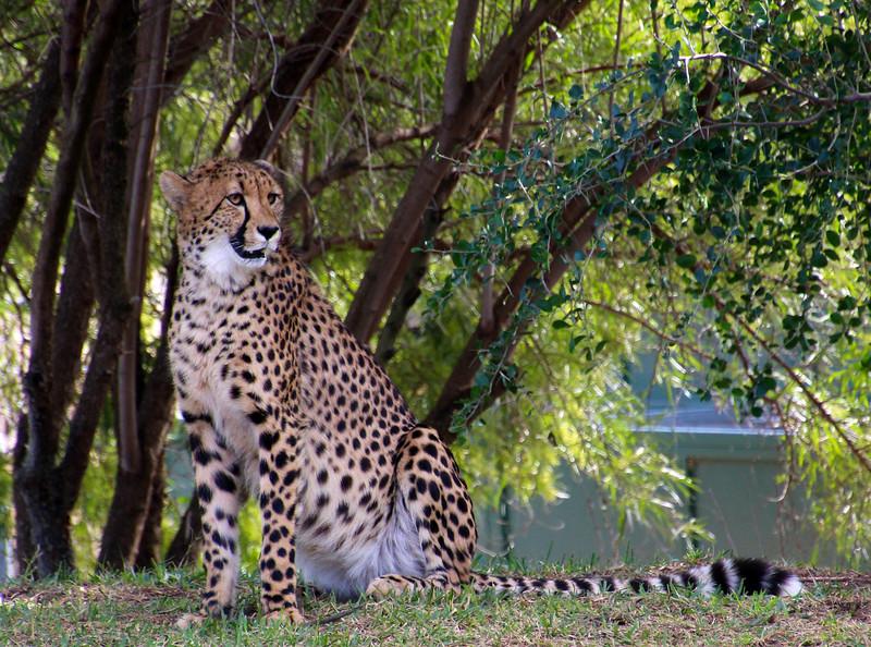 San Diego Zoo Safari Park, South African Cheetah