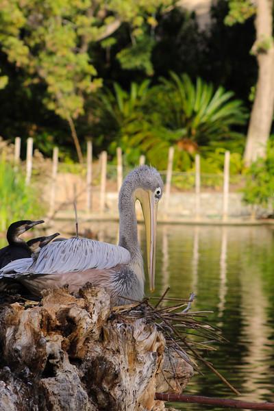 San Diego Zoo Safari Park, Pink-Backed Pelican
