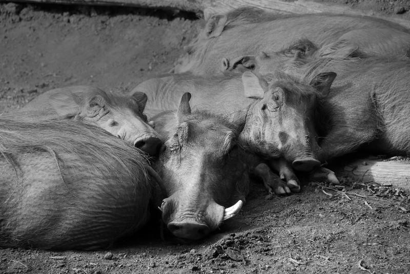 San Diego Zoo Safari Park, Warthogs