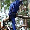 San Diego Zoo Safari Park, Hyacinth Macaw