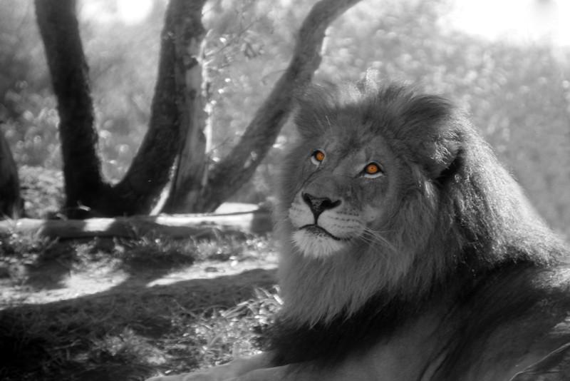 San Diego Zoo Safari Park, Lion black/white