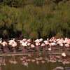 San Diego Zoo Safari Park, Lesser Flamingo Panorama