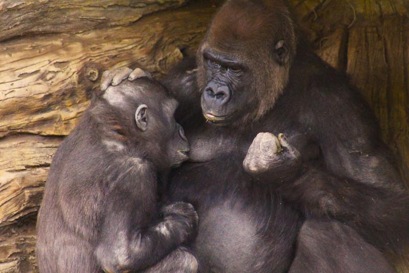 San Diego Zoo Safari Park, Gorilla with Mother