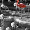 San Diego Zoo, Flamingos, bw