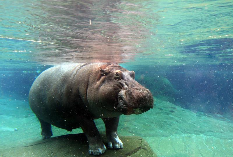 San Diego Zoo, Hippo Exhibit