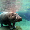 San Diego Zoo, Hippo Exhibit