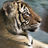 San Diego Zoo, Tiger Portrait
