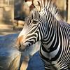 San Diego Zoo, Zebra Portrait
