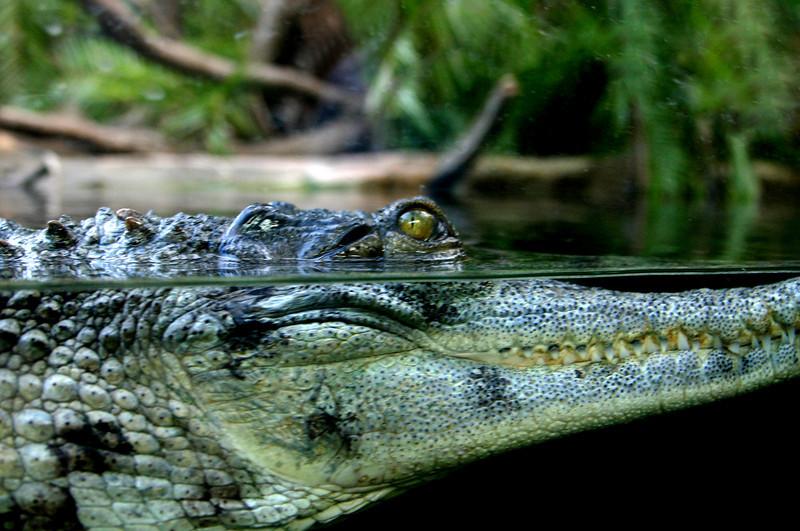 San Diego Zoo, Crocodile