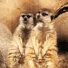 San Diego Zoo, Meercats