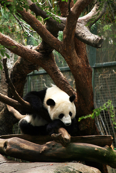 San Diego Zoo, Sleeping Panda
