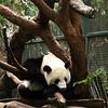 San Diego Zoo, Sleeping Panda
