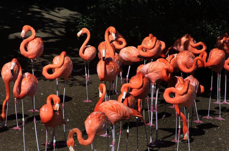 SeaWorld San Diego Flamingos