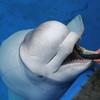 SeaWorld San Diego Beluga Whale Feeding