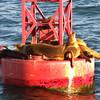 Harbor Seals in San Diego Bay