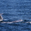 Whalewatching from Adventure Rib Rides San Diego