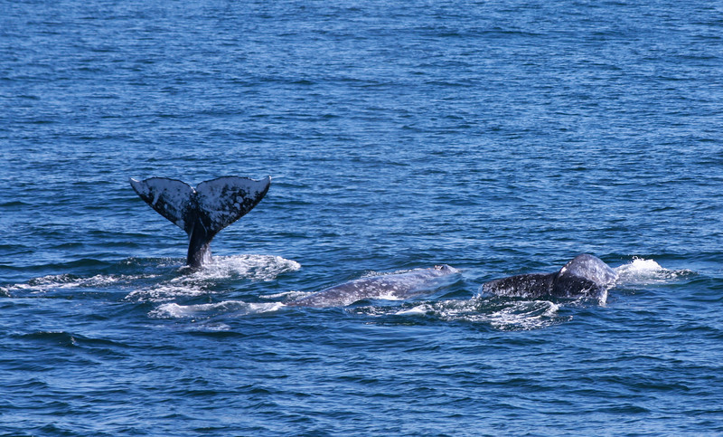 Three Whales, San Diego Whalewatching