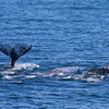 Three Whales, San Diego Whalewatching