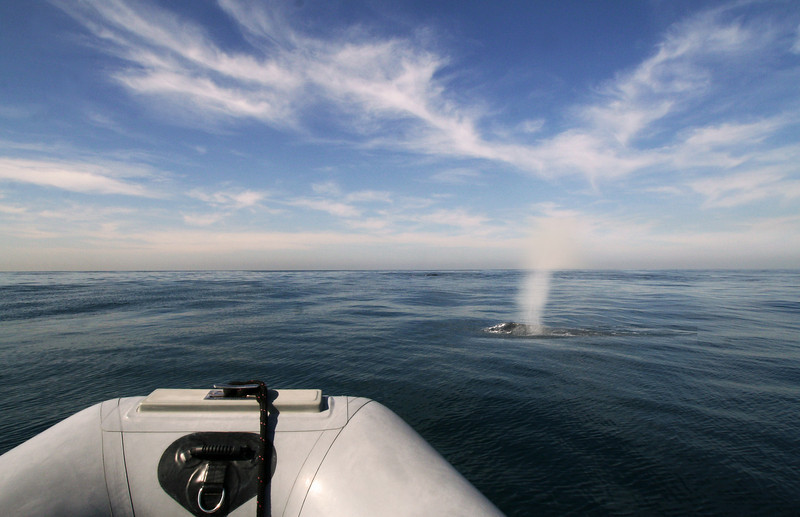 Spouting Whale Viewing from Adventure Rib Rides San Diego