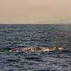 Grey Whale at Sunset, San Diego