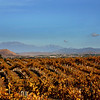 Golden Harvest Grapes, Temecula