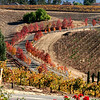 Autumn Vineyards in Temecula