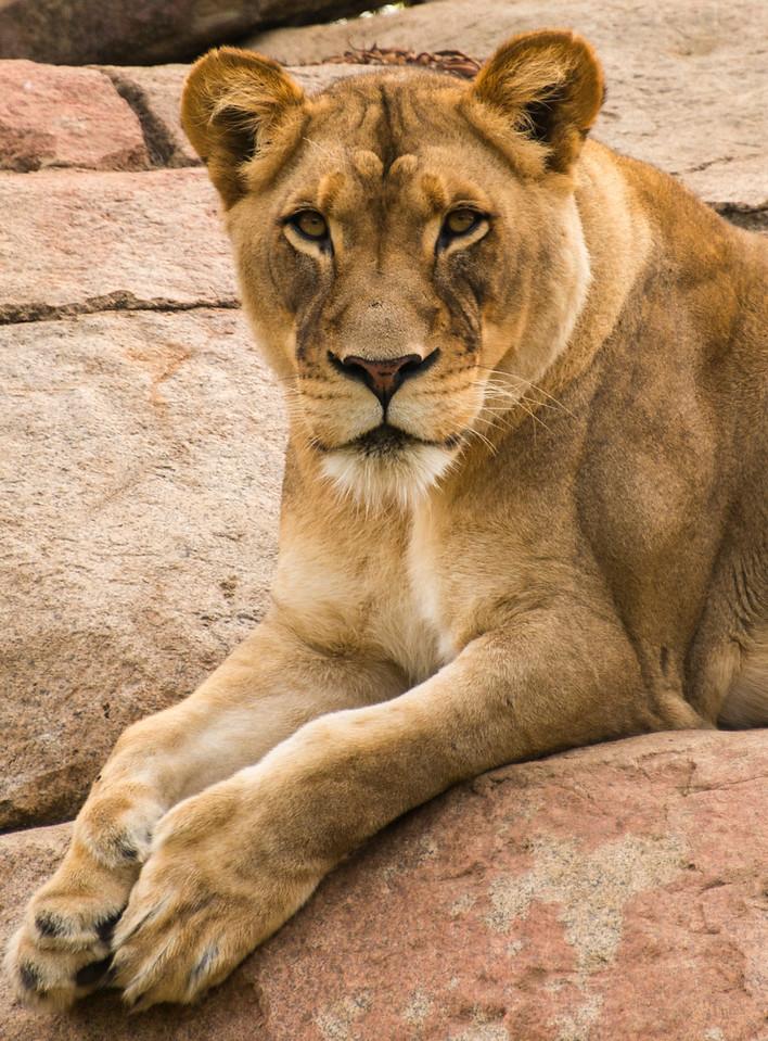 Lioness in San Diego