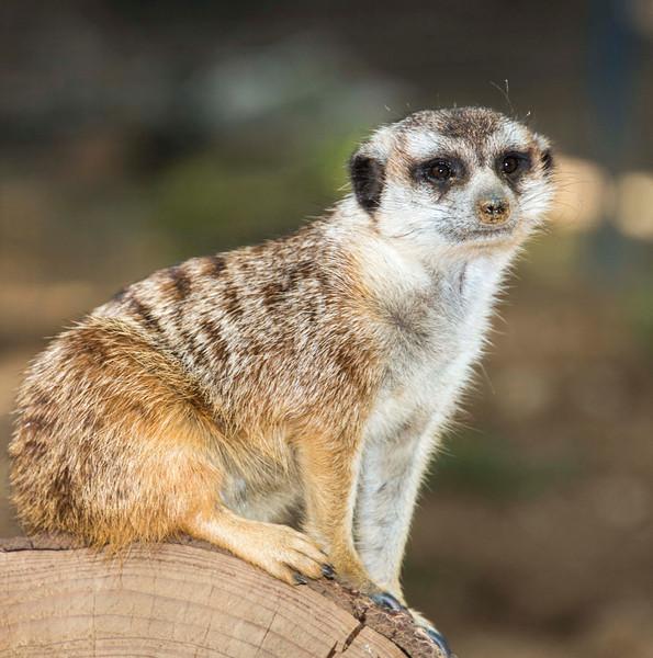 Meerkat resting on a log