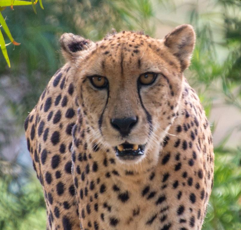 The pacing Cheetah