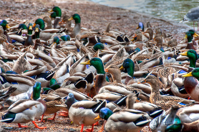wild-ducks
